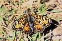 Crescent  - Phyciodes tharos