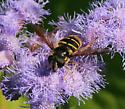Syrphid Fly  - Sericomyia chalcopyga - female