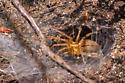 Yellow spider - Agelenopsis