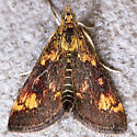 Pyrausta orphisalis - Orange Mint Moth - Pyrausta orphisalis