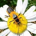 Long-Horn Beetle - Trachyderini? - Chauliognathus