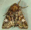 Fishia illocata - Wandering Brocade 9420 - Fishia illocata - male