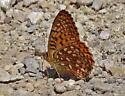 Butterfly 5871 - Speyeria hesperis - male