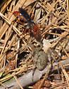 Spider wasp with prey - Tachypompilus ferrugineus - female