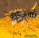 Megachile inimica? - Megachile - male