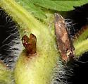 Olethreutinae, Ragweed Borer - Epiblema strenuana