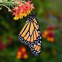 Danaus plexippus - Monarch - Hodges#4614 - Danaus plexippus - male