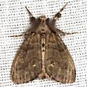 White-marked Tussock Moth - Hodges #8316 - Orgyia leucostigma - male