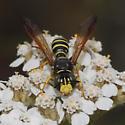 Crabronidae? - Eucerceris flavocincta - male