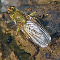 maybe Scathophaga stercoraria (Golden Dung Fly) - Scathophaga stercoraria