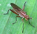 Marsh Fly  - Sepedon
