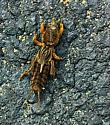 Cricket? - Neocurtilla hexadactyla