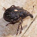 Rhinoncus castor? - Rhinoncus pericarpius