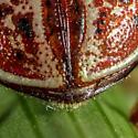 Russet Alder Leaf Beetle?? - Calligrapha alni