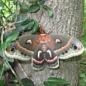 Unknown Moth/Butterfly - Hyalophora cecropia