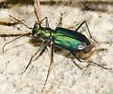 green Tiger Beetle - Cicindelidia punctulata