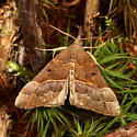 Red-footed Bomolocha Moth - Hypena eductalis