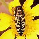 beetle - Acmaeodera decipiens
