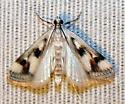 Moth - Parapoynx maculalis