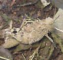 Carolina Grasshopper - Dissosteira carolina - female