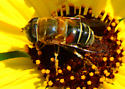 Palpada on bush sunflower - Palpada mexicana - female