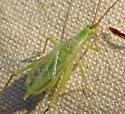Tree Cricket - Oecanthus? - Oecanthus argentinus - male