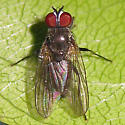 Virginia Living Museum Fly - male