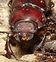 Reddish-brown Stag Beetle, head - Lucanus capreolus - female