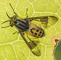 Fly for ID - Chrysops geminatus - male