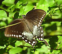 Battus philenor ? - Papilio troilus