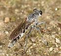 small robber fly - Stichopogon trifasciatus