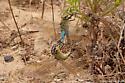 Dragonflies Mating - Anax junius - male - female