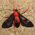 Scarlet-Bodied Wasp Moth - Hodges #8280 - Cosmosoma myrodora