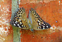 Need a butterfly id - Asterocampa celtis