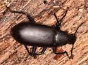 Large Black Beetle - Alobates
