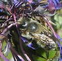 Blue Orchard Bee? - Megachile melanophaea