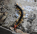 large centipede - Scolopendra heros