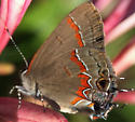 Red-banded Hairstreak (Calycopis cecrops)? - Calycopis cecrops
