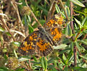 Pearl Crescent or Phaon Crescent? - Phyciodes tharos