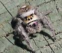 North Florida jumping spider - Phidippus regius - female