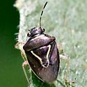 Stink Bug - Tuxedo - Dorsal - Mormidea lugens
