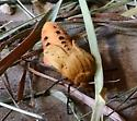 Moth ID? - Pyrrharctia isabella
