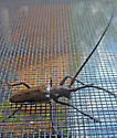 Metallic Long horned - Monochamus