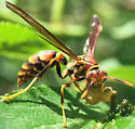 Wasp squishing the guts out of something - Polistes exclamans - female