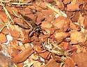 House cricket fight - Acheta domesticus - male