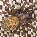 Furry Brown Spider - Tegenaria domestica - female