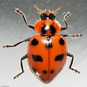 Lady Beetle - Coleomegilla maculata
