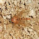 snipe fly - Rhagio gracilis - male