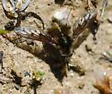 Bombylius albicapillus - Bombylius curtirhynchus - female
