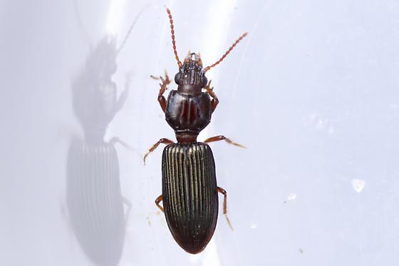Clivina - Schizogenius lineolatus